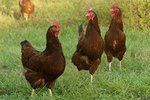 The Best Places to Buy Pet Chickens