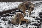 Dog Spends 2 Days Warming Injured Friend On Freezing Train Tracks