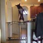 Dog Effortlessly Jumping Over Kitchen Gate Is Living Her Best Life