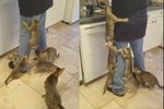 Watching Hungry Kitties Climb Their Human Servant Will Make You Wish It Was Lunchtime