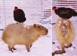 """Cheesecake"" The Capybara Chauffeurs Her Hen BFF Around The Farm"