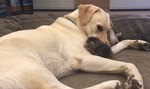 Labrador Steps In When A Helpless Kitten Has Nobody To Count On