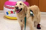 Atlanta Hospital Rallies Around Beloved Therapy Dog With Blood Clot In Brain