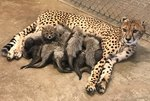 This Cheetah Gave Birth to a Record Number of Cubs & Spoiler — They're All Adorable