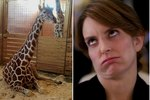 Say What? April The Pregnant Giraffe Is Not In Labor?