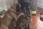 Watch This Big Dog Teaching His Baby Brother To Sit