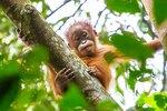 Meet Redd, The Baby Orangutan Who Is An Endangered Cuddle Monster