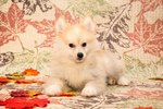 Pomeranian Husky Dog Breed Facts & Information