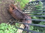 You Won't Believe How A Chubby Beaver Was Freed From This Fence