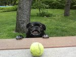A Chubby Pug Reviews The Best Tennis Balls Of 2017
