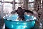 Gorilla's Kiddie Pool Flashdance Will Inspire You To Dance Like Nobody's Watching