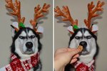 This Grouchy Husky Is NOT HERE For Your Holiday Spirit