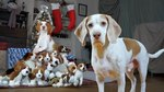 This Beagle Is So Excited After Getting The Best Christmas Gift Ever