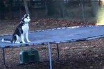 Unbelievably Cool Dog Wants To Keep His Love of Trampolines A Secret