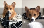 Corgi Who Thinks He's Sushi Has Important Bed Hack To Share