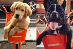 Basket Dogs Of Portland's Bike Share Program Ranked By Cuteness