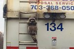 Raccoon Who Hitched A Ride On A Garbage Truck Has Places To Go