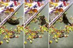 Stoned Cat Binges On Catnip In Pet Supply Store