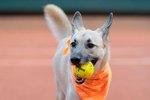 Adoptable Ball-Fetching Dogs To Replace Ball Boys During Tennis Tourney
