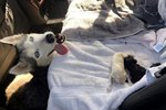 Adorable Husky Gives Birth In Woman's Mercedes & Please Don't Tell Her Husband