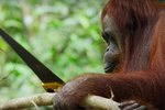 Wild Orangutan Learns To Saw Tree Branches Like A Freaking Boss
