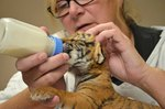 Attention! We're Losing Our Minds Over These Cute Newborn Tiger Cubs
