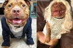 """Meaty"" The Pit Bull Mix Has A Smile As Big As His Heart"