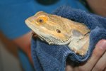 How to Give a Bearded Dragon a Bath