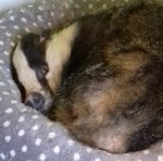 Family Wakes Up To Find a Badger In Their Cat's Bed