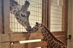 Officials To Shutdown 'Giraffe Cam' After April Suffers Injury