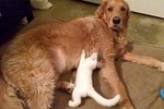 Retriever Constantly Confused After He Rescues & Raises A Motherless Kitten