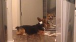 Innocent Corgi Trying To Share A Bone With His Reflection Is Giving Us Emotions