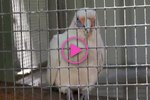 This Bird Does A Spot-On Imitation Of A Walkie Talkie