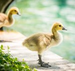 Good Samaritans Build Tiny Ramps So Wee Baby Ducklings Won't Drown In Canals