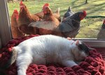 This Fat Cat Has Thousands Of Fans — Including A Group Of Chickens