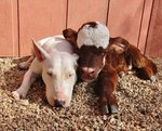 Confused Calf Refuses To Believe She's Not A Dog