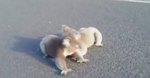 Woman Mistakes Adorable Koala Brawl For Something Else Entirely