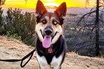 Gerberian Shepsky Dog Breed Facts & Information
