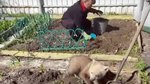 The Cutest Bear Cub Ever Helps Grandma Plant Potatoes In The Garden