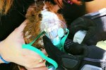 A Tiny Oxygen Mask Revives An Even Tinier Guinea Pig