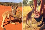 Stop What You're Doing & Watch This Orphaned Kangaroo Jump Into A Pillowcase