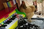 """Not To Brag, But This Chicken Can Play """"Twinkle Twinkle"""" On The Piano"""