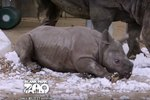 Baby Rhino Discovering Snow Exists Proves Happiness Is Contagious