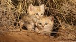 Watch These Elusive & Rare Sand Cat Kittens Recorded For The First Time Ever