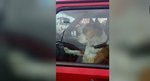 This Boxer Leaning On The Car Horn Is The Funniest Thing You'll See Today