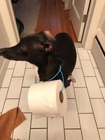 Very Good Boy Brings Toilet Paper To Human Stranded On The Toilet