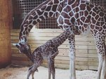 Watch As April The Giraffe (Finally) Greets Her Brand New Baby