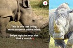 Horny White Rhino Joins Tinder To Find New Mate