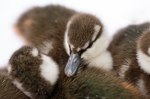 These Endangered Baby Ducklings Are Too Ducking Adorable